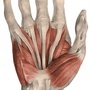 Illustration - Palmar muscles and tendons of the hand