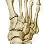 Illustration - Bones of the foot