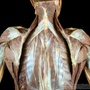 Photo - Shoulder and back muscles - layer 4 paired
