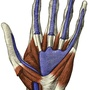 Illustration - Synovial sheaths of the wrist and hand