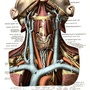 The deep veins and arteries of the neck and the great venous and arterial truncks of the thorax.