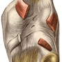 Illustration - Knee joint