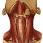 Illustration - Superficial muscles of the neck with platysma removed