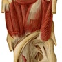Illustration - Plantar muscles of the foot - layer 3