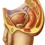 Illustration - The male genitalia seen in profile