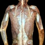 Photo - Superficial back muscles - layer 2 with arms