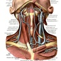 The superficial veins of the neck and of the subclavicular fossa.