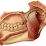 Illustration - Pterygoid muscles